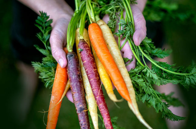 holding multicolored carrots