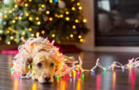 Puppy wrapped up in Christmas Lights