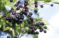 Elderberry, Health Tinctures, Elderberry Juice
